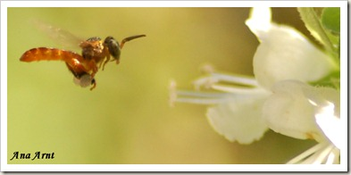 abelha nativa1_ass